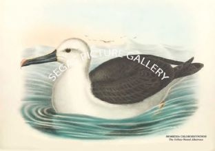 DIOMEDEA CHLORORHYNCHOS - The Yellow-Nosed Albatross